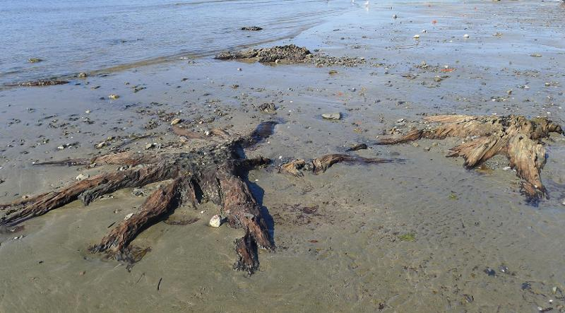Image #Titahi Bay Fossil Tree, Photo J.Thomson @ GNS.Science